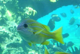 Yellow_fish