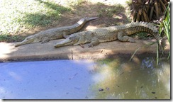 two_crocs
